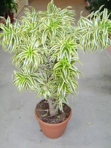 pleomele variegata